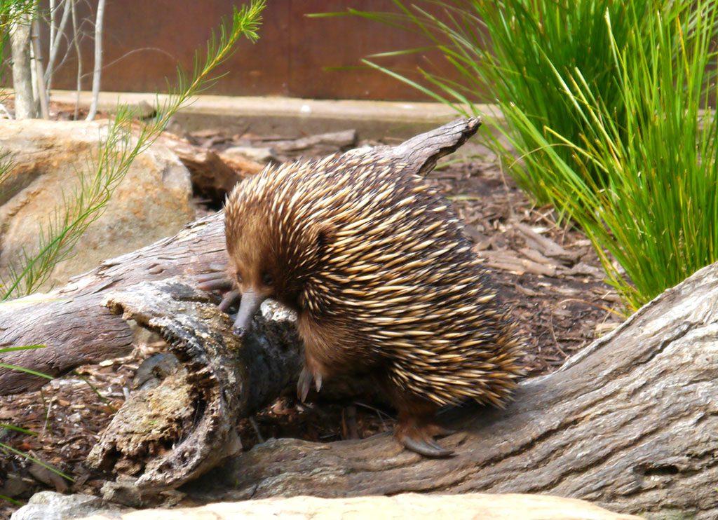 australische tierwesen